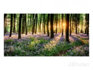 purple-bluebell-woods-sunrise